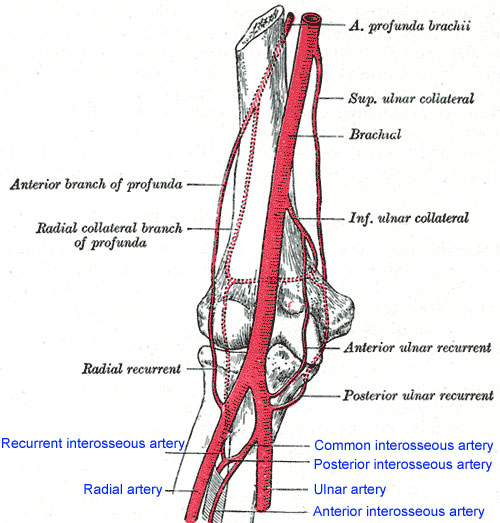 Human Anatomy Module University Of Connecticut School Of Medicine