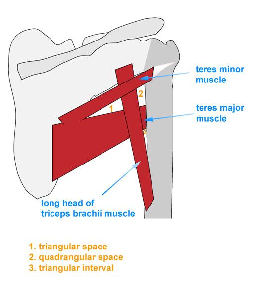 Human Anatomy Module › University of Connecticut School of Medicine